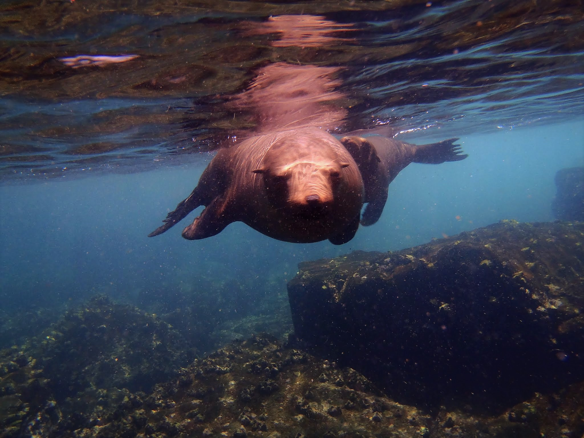 swimming-sea-lion-Galapagos