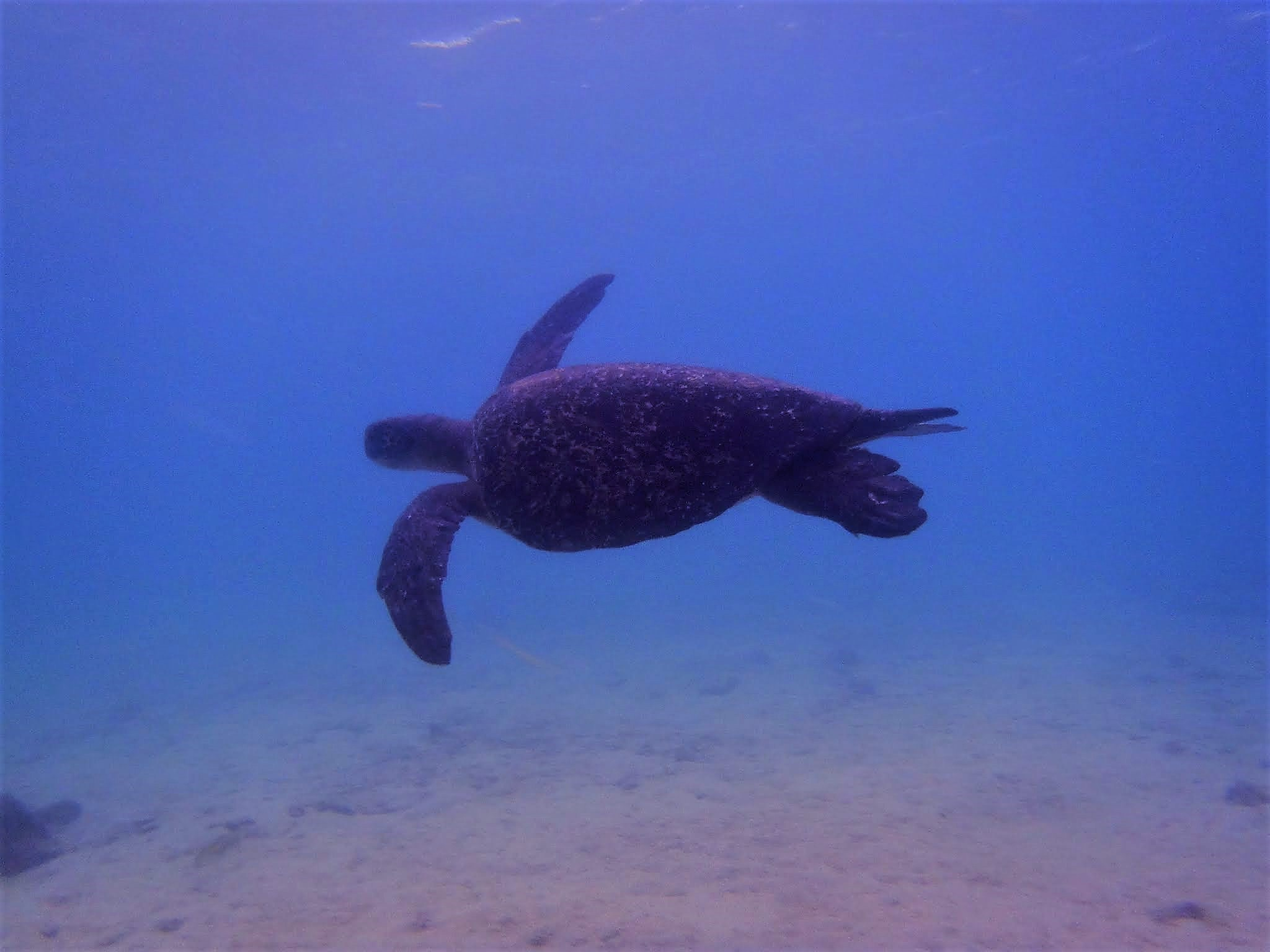 Turtle swimming Galapagos