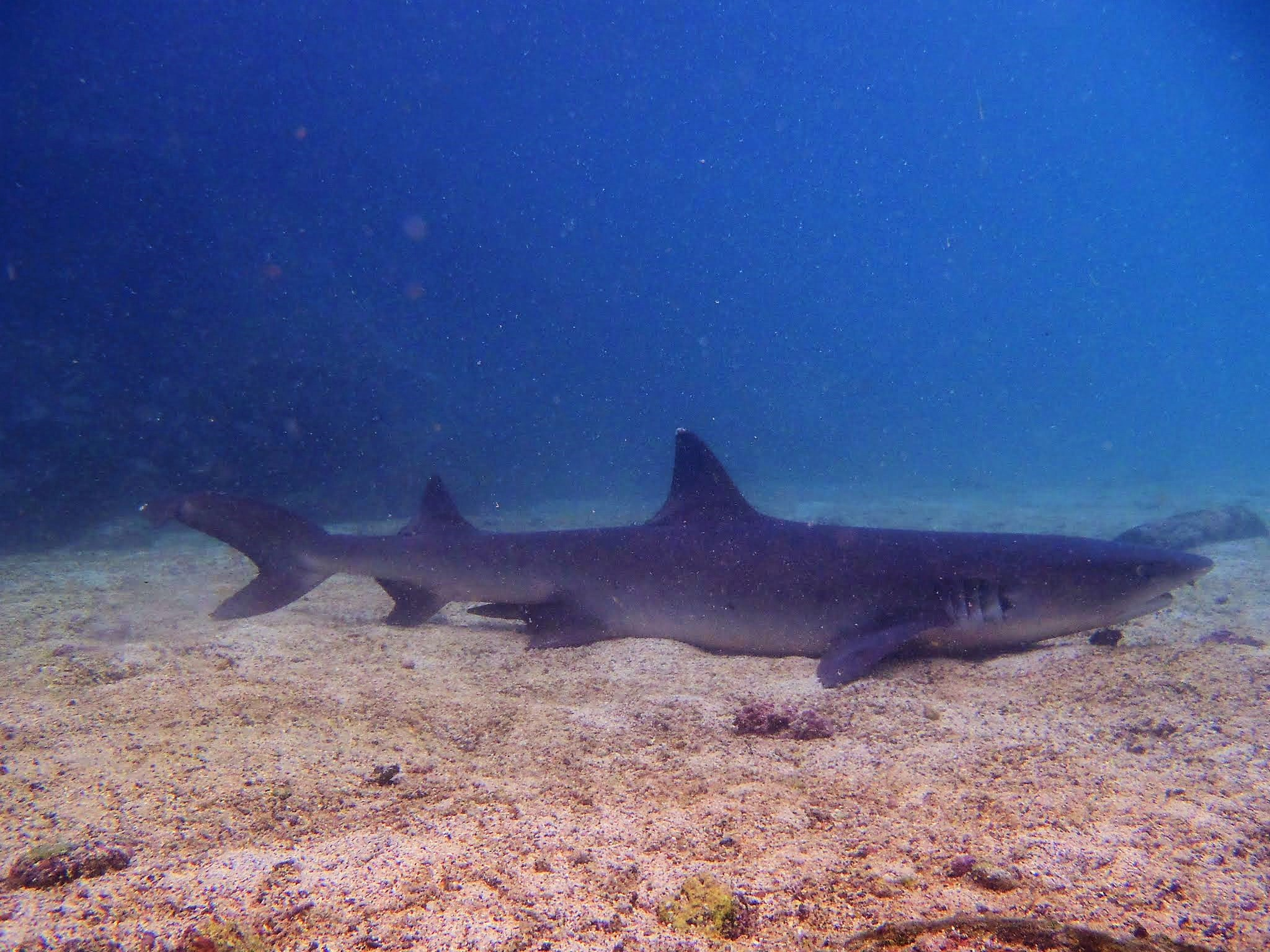 Galapagos Reef Shark
