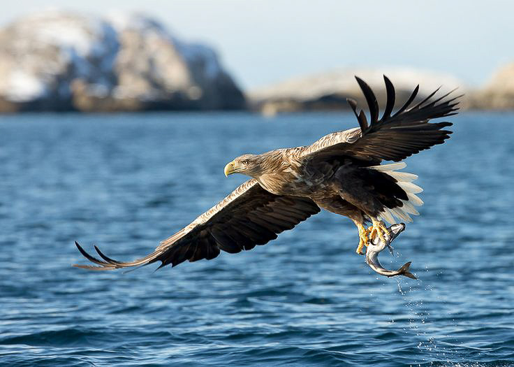 white-tale sea eagle lofoten Norway
