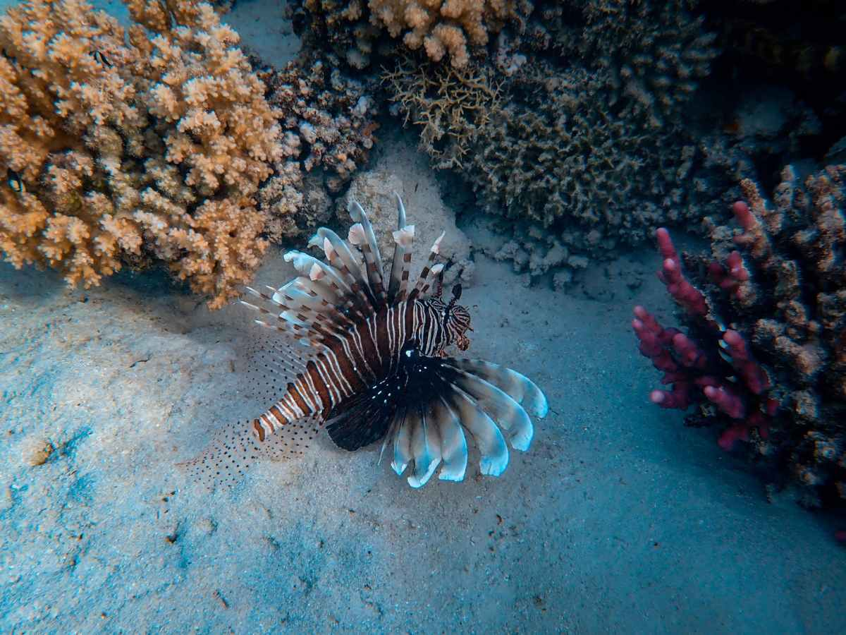 Lion Fish And corals Diving in Koh Tao