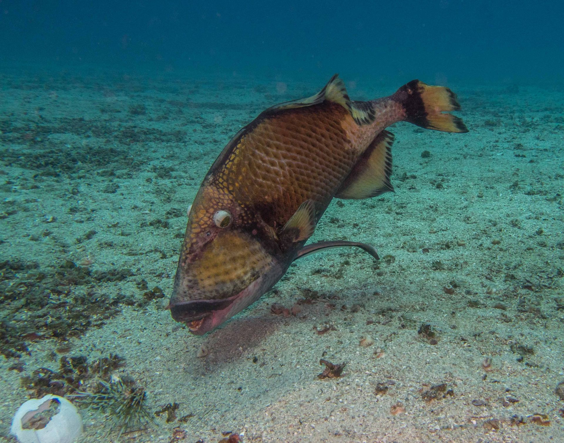 Titan Trigger Fish Diving in Koh Tao Thailand
